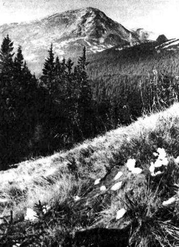 Рослинні ступені смерекових лісів та криволісся в Чорногорському заповідному масиві.