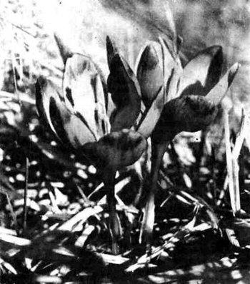 Шафран Гейфеля на полонинських луках.