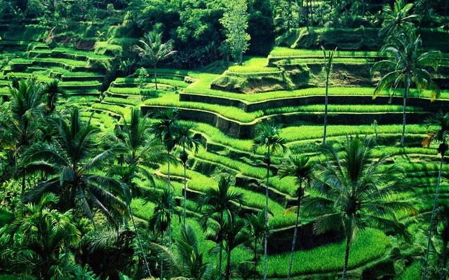 рисовые террасы Тегаллаланг