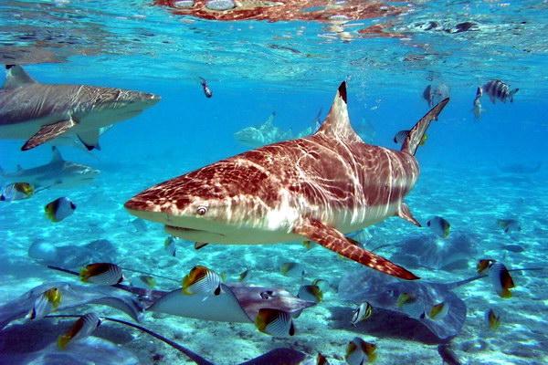 Популярное развлечение на острове Бора-Бора – кормление скатов и акул