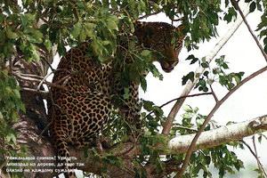 Уникальный снимок! Увидеть леопарда на дереве, да еще так близко не каждому суждено!