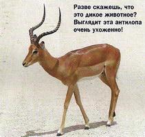 Разве скажешь, что это дикое животное? Выглядит эта антилопа очень ухоженно!