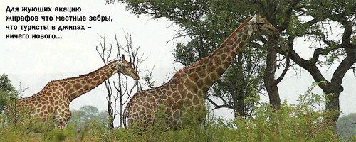 Для жующих акацию жирафов что местные зебры, что туристы в джипах - ничего нового...