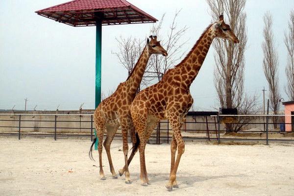 единственная пара жирафов в Украине