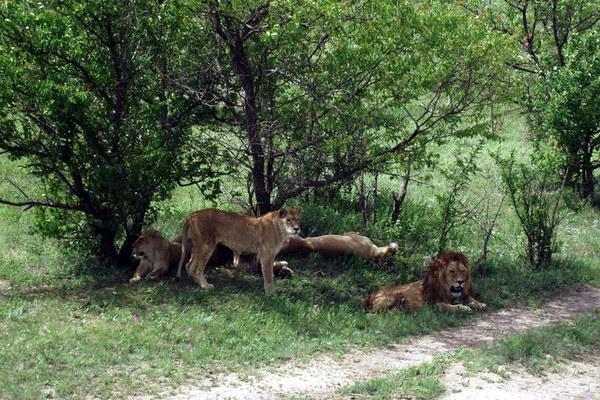 львы в «Тайгане»