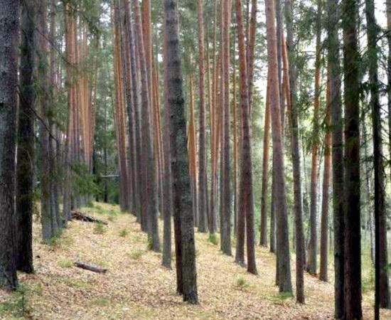 культуры сосны в парке «Софья»