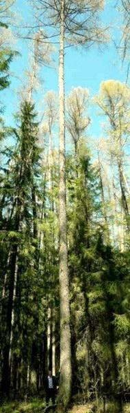 ООПТ «Кувинский бор». Феноменальная по высоте лиственница - высота 41,7 м.