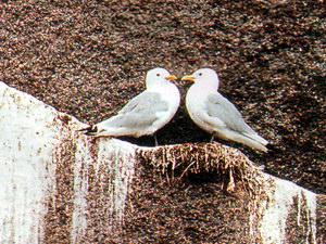 Чайки-моевки