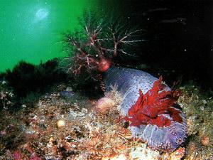 Морской огурец кукумария