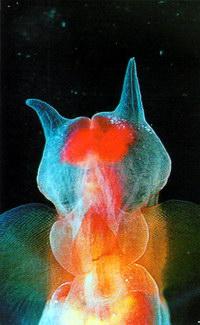 Крылоногий моллюск морской ангел