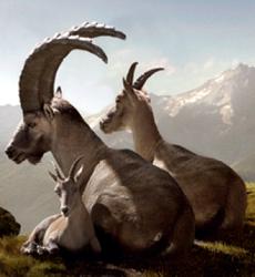 Фото ибекса - альпийского козла