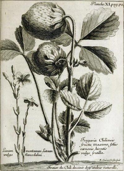 Лісова ягода з Атласу морського офіцера, вченого А.Ф. Фрезьє